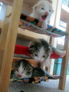 kitten-bunk-beds