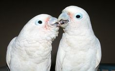 صحبت کردن طوطی ها بطور معمولتقلیدکلام انسان است، اما مطالعات انجام گرفته طی بیش از سه دهه گذشته نشان داده كه این پرندگان فعالیتی بیش از تقلید کردن را انجام می دهند. طوطی ها می توانند يادگيری زبان مشخصی را مشابه یک کودک ۴ تا ۶ ساله انجام دهند. به نظر می رسد طوطی ها …