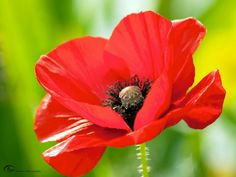 Story of the Poppy by mariska.dejong on YouPic Story of the Poppy by mariska. Types Of Flowers, All Flowers, Summer Flowers, Beautiful Flowers, Watercolor Poppies, Red Poppies, Poppy Photography, Poppies Tattoo, Flowering Trees