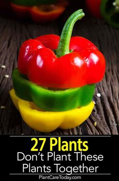 Growing Tomatoes Gardening beginners would definitely enjoy the ease of growing bell peppers. The whole process won't take too much time and space! - Planting choice for gardening beginners? Growing bell peppers won't take too much time and space! Planting Vegetables, Organic Vegetables, Growing Vegetables, Planting Potatoes, Veggies, Organic Fruit, Bell Pepper Plant, Pepper Plants, Growing Bell Peppers