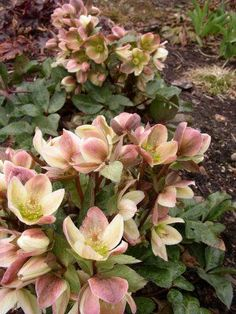 Helleborus for shady gardens.....never heard of these before! kinda cool!