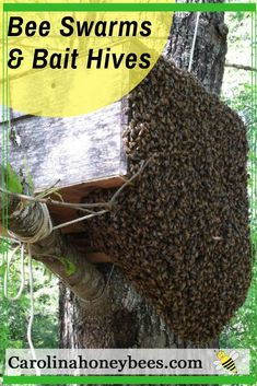 How to catch a honey bee swarm in a bait hive - #beekeeping