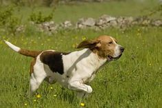 artois hound photo   Artois Hound Pictures and Images