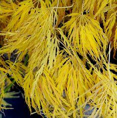 Klehm's Song Sparrow Farm and Nursery--Woody Plants--Acer palmatum 'Lemon Lime Lace' full sun partial shade zone 5-9