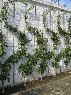 Photo Only - Beautiful Espalier fruit trees/ Gaasbeek Belgium