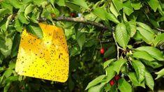 Asi najznámejším a najnenávidenejším škodcom čerešní a višní je vrtivka čerešňová. Spôsobuje červivosť plodov poloneskorých a neskorých odrôd.