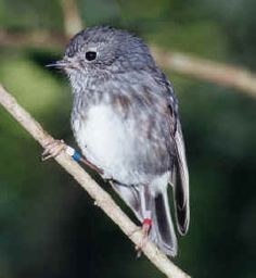 North Island Robin - Endemic Native NZ Bird