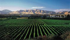 What's next for New Zealand Pinot Noir? https://www.thedrinksbusiness.com/2017/05/whats-next-for-new-zealand-pinot-noir/?utm_campaign=crowdfire&utm_content=crowdfire&utm_medium=social&utm_source=pinterest