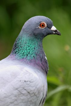 A profile of my new friend. This homing pigeon crash  landed in my garden recently. He had his photo taken for passport control, stayed a few days and now he has flown the coop.