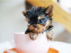 10 Mejores Imágenes De Perritos Pequeños Cute Puppies Small Dogs