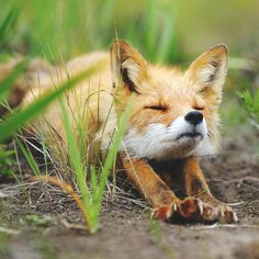 stretching red fox