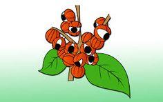Resultado de imagem para plantas da amazonia frutos desenhos