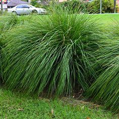 Lomandra longifolia & - - Tough - Full sun to moderate shade - Easy care - cut back to once every 3 years. Lomandra longifolia Tanika - - Tough - Full sun to moderate shade - Easy care - cut back to once every 3 years. Cheap Landscaping Ideas, Landscaping Plants, Garden Plants, Arizona Landscaping, Garden Seeds, Australian Plants, Australian Garden, Miscanthus Gracillimus, Ornamental Grasses For Shade