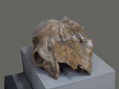 Музей этнографии и археологии Алтая_череп большерогого оленя