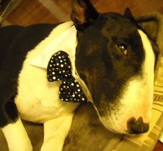 Cinco de Mayo!  Today is Batu's birthday.  He is 8 years old, a bull terrier from Chile.  Que Bueno!