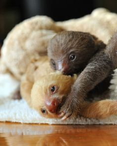 Baby sloths. The cuteness! Sloth Sanctuary, Costa Rica