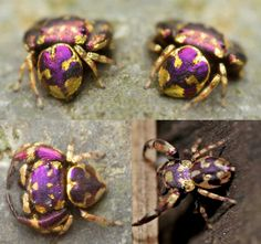 Simaetha sp. is a gorgeous gold and purple jumping spider recently discovered in the Sraburi Province of Thailand.  Image: Theerasak Saksritawee