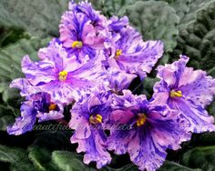 Chimera Dominica~Plant~African Violet~Russian Variety | eBay