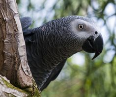 African Grey Parrot. Sequence Of Events, Great Speakers, African Grey Parrot, Veterinary Medicine, Health Diet, Small Dogs, Wildlife, Parrots, Parakeets
