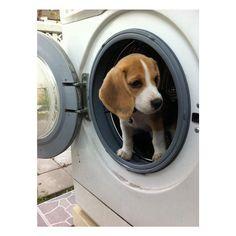 1,290 vind-ik-leuks, 58 reacties - @gkb_beagles op Instagram: 'Cleannnnnnn @boom_parada @bankkills @oho_nooty #love #cute #beagle #beagles #beaglelover…'