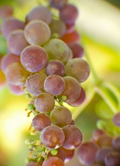 Grapes. The Okanagan (B.C Canada) is wine country. Grapes are endless. Kim