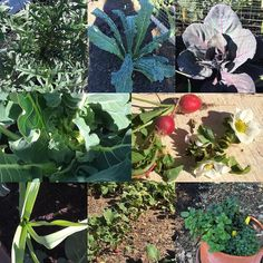 Today I followed up with my clients Cherilyn and Eric who I designed and built a #jardinpotager for. Everything is thriving and looks so healthy! All #organic of course. From top left we have artichoke lacinato kale red cabbage graffiti cauliflower radish and strawberry blooms garlic shoots more radishes and mint trio #shepardsflockcanningco by shepardsflock