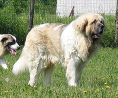 Pyrenean Mastiffs Big Mountain, Mountain Dogs, Pyrenean Mastiff, Fluffy Cows, Animal Crackers, Great Pyrenees, Aragon, Working Dogs, Livestock
