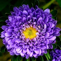 Heirloom 600 Seeds Callistephus chinensis China Aster by seedsshop, $1.79
