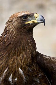 Call Of The Wild, Golden Eagle, Vertebrates, Birds Of Prey, Raptors, Wild Birds, Beautiful Birds, Bald Eagle, Wildlife