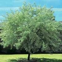 Russian Olive Tree. What is it with me and noxious, plants?? Russian olives have beautiful, silver leaves and sprout little yellow flowers that smell like chocolate--no joke.