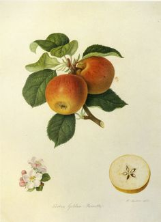 SALE Botanical Book Plate Apples by GalleryBotanica on Etsy, $10.00