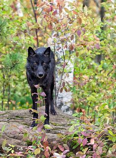 black wolve in the woods