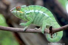 You can find chameleons when you visit Nosy Be, Madagascar!