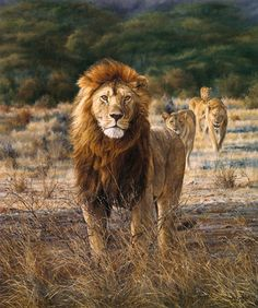 African Lion painting by Simon Combes - In His Prime Wildlife Paintings, Wildlife Art, Animal Paintings, Beautiful Lion, Lion Painting, Artist Portfolio, African Animals, Big Cats, Pet Portraits