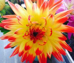 Dahlia flower- Transplant from current garden