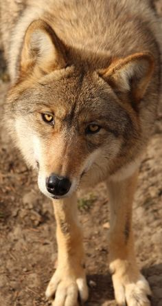 About Wild Animals: Cute wolf