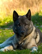 Another one of these would be OK too, such awesome dogs! Norwegian elkhound