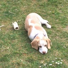 Doof! I give up, too tired! Credit to : @beagles.and.snow Follow us if you love Beagles ❣ Update videos everyday ❤ #beaglepuppies #beaglesofinstagram #beaglefamily #beaglelove #beaglemania