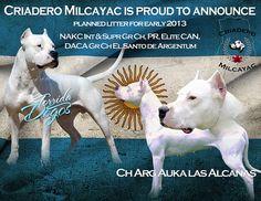 """Criadero Milcayac"", Dogo Argentino Breeder  Our Dogos / The native argentine dog. #DogoArgentino #Dogo #dogs #perros #argentina"