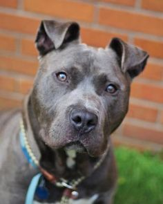 💖 SPIKE: ADOPTED 7/16/17 💖AT RISK : 7/18/17: Spike: Breed:Pit Bull Terrier (mix breed)  Age: Young adult  Gender: Male  Size: Large  Additional : Altered  Shelter Information:  Philadelphia Animal Care and Control  111 West Hunting Park Avenue   Philadelphia, PA  Shelter dog ID: 35615829