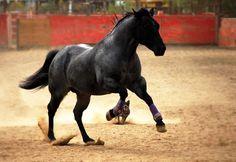 Quarter Horse stallion Kellys Blue King
