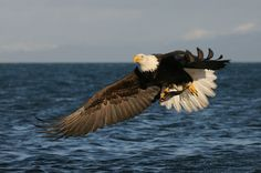 Weather Underground provides local & long range Weather Forecast, weather reports, maps & tropical weather conditions for locations worldwide. Bald Eagle Images, Bald Eagle Pictures, Where Eagles Dare, Eagle Bird, All Birds, Animals Of The World, Bird Feathers, Beautiful Birds, Creatures