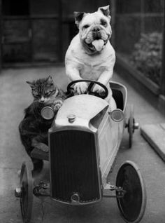 WP29-5-x7-PHOTO-VINTAGE-1930s-BULL-DOG-CAT-DRIVING-A-COOL-PEDAL-CAR