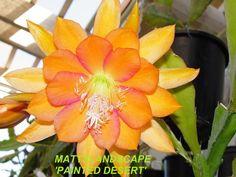 Epiphyllum hybrid 'Painted Desert'