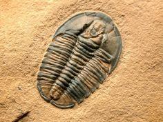 Modocia weeksensis Trilobite - 27×18 mm; matrice 90×75 mm. Cambrien. Comté de Millard, Utah.