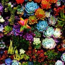 Succulents are so beautiful! I've posted a picture of succulents before, but I just couldn't resist! Look at all these beautiful colors, and imagine owning these succulents! Succulents are Easy to take care of as house plants and Absolutely beautiful! Colorful Succulents, Planting Succulents, Garden Plants, Planting Flowers, Balcony Garden, Nature Plants, Flowers Garden, Colorful Plants, Colorful Flowers
