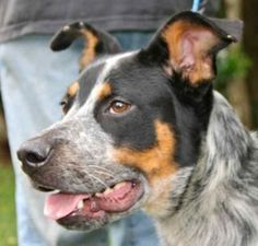 Dorsey is an adoptable Australian Cattle Dog (Blue Heeler) Dog in Chipley, FL. Dorsey is a 1 to 2 year old male australian cattle dog/blue heeler cross weighing bout 40 pounds. He will greet you with ...