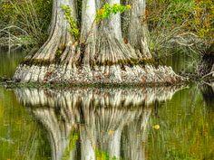 Bald Cypress by Bill Niven, photographed at Stumpy Lake in Virginia Beach, Virginia Donate Now, Virginia Beach