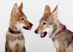 La manejabilidad, una de las claves en la domesticación de los perros | SrPerro, la guía para animales urbanos. Corgi, Savages, Urban, Dogs, Animales, Corgis