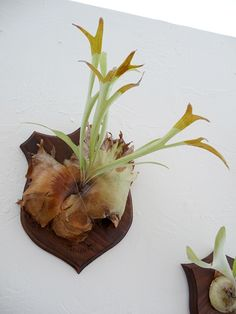 True garden brilliance in these mounted elkhorn & staghorn ferns by California based artists Sean & Stacy Kelley ! Their project is meant to. Staghorn Plant, Staghorn Fern Mount, Air Plants, Indoor Plants, Platycerium, Inside Garden, Garden Spaces, Floating Frame, Hanging Planters